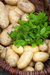 Potatoes and mint in a wicker basket. Potato 'Sharpe's Express' and 'International Kidney'. Solanum tuberosum. SR says use for Sarah's Early to Mid season collection