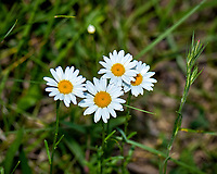 Four wild daisy flowers. Late-spring backyard nature in New Jersey. Image taken with a Nikon D2xs camera and 105 mm f/2.8 VR macro lens  (ISO 100, 105 mm, f/32, 1/60 sec)
