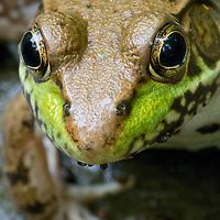 Close-up image of the face and eyes of a green frog (Rana clamitans)at Huntley Meadows Park, Alexandria, Virginia.