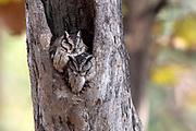 Pair of Indian scops owl (Otus bakkamoena) resting in a hollow tre trunk in Pench National Park, Madhya Pradesh, India.