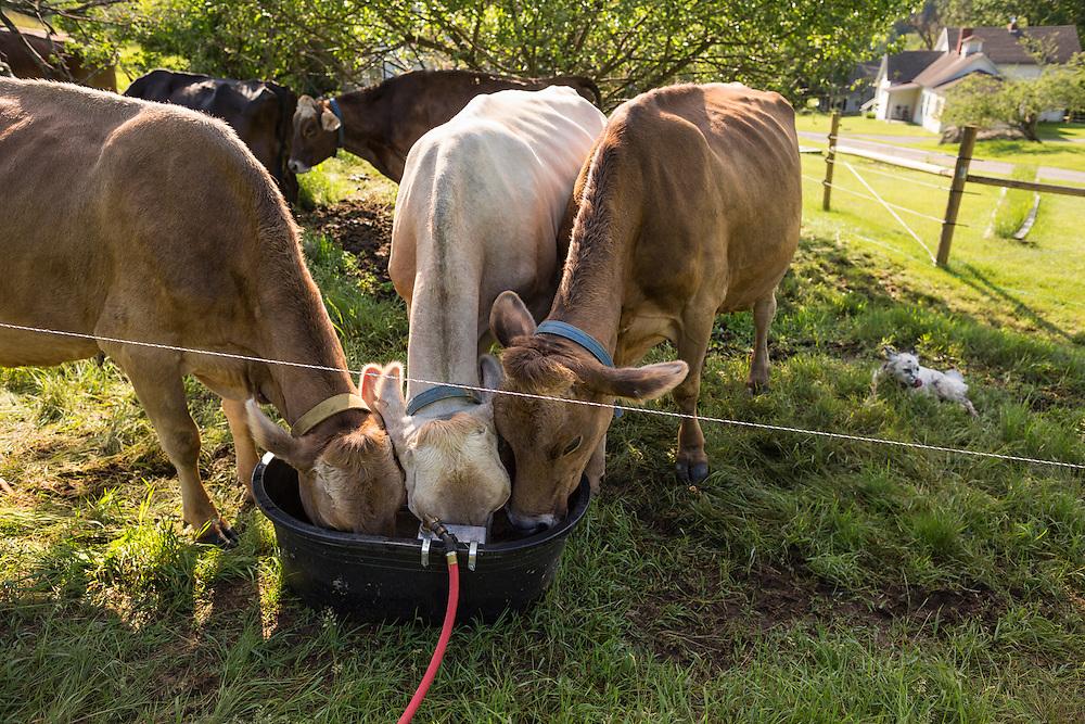 Three Brown Swiss Cows Drinking