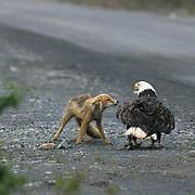 Bald Eagle, (Haliaeetus leucocephalus)  Adult and Red Fox face off. Fox repeatedly attacks eagle. Aleutian Islands. Alaska.
