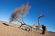Sahara acacia tree (Acacia raddiana) in the Sahara desert with clear blue sky.