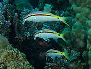 Three Forsskal Goatfish, Parupeneus forsskali, swimming in Red Sea, Egypt. They are easily recognized by the presence of a pair of long movable hyoid barbels on the chin.
