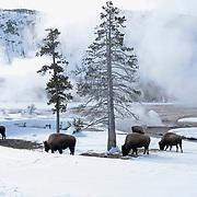 American bison (Bison bison) near Black Sand Basin in Yellowstone National Park.