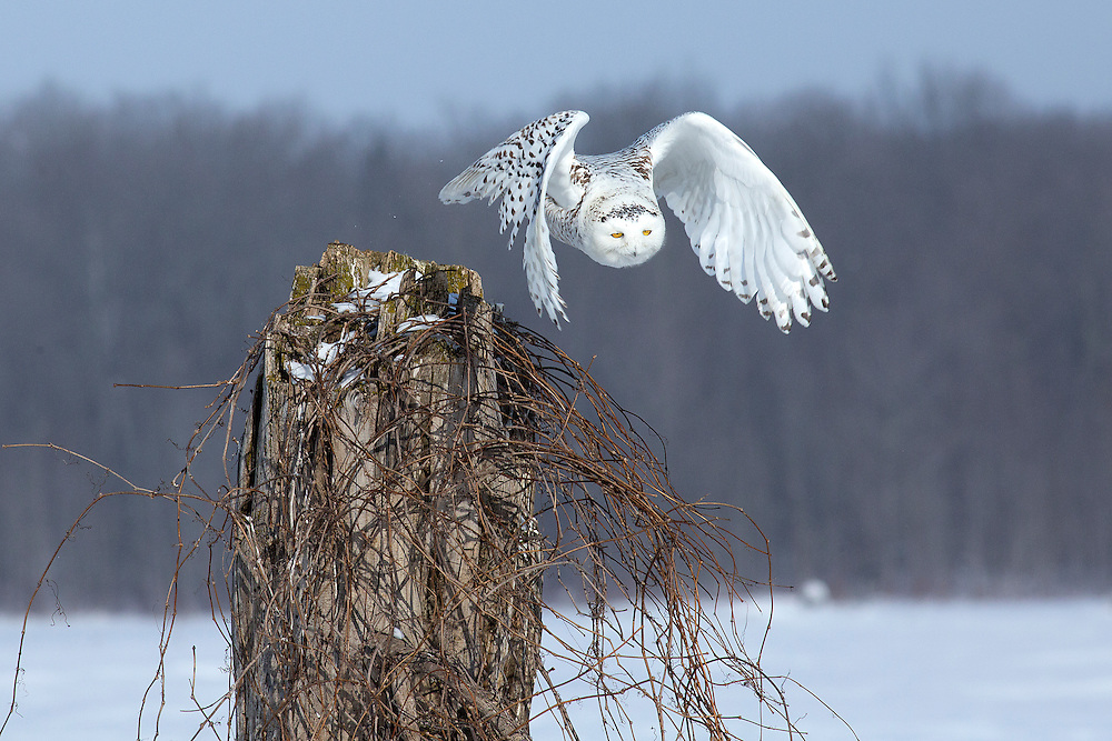 """Snowy owl taking flight from a dead tree stump.<br /> <br /> Available sizes:<br /> 18"""" x 12"""" print <br /> 18"""" x 12"""" canvas gallery wrap <br /> <br /> See Pricing page for more information. Please contact me for custom sizes and print options including canvas wraps, metal prints, assorted paper options, etc. <br /> <br /> I enjoy working with buyers to help them with all their home and commercial wall art needs."""