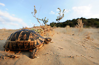 A Hermann's tortoise (Testudo hermanni) crosses a sand dune on its search for fresh leaves to feed on.