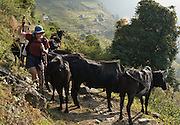 Trekking past water buffalo through agricultural terraces near Chomrong (or Chhomrung) in the Annapurna Mountain Range of Nepal.