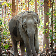Portrait of Asian elephant near Luang Prabang in Laos