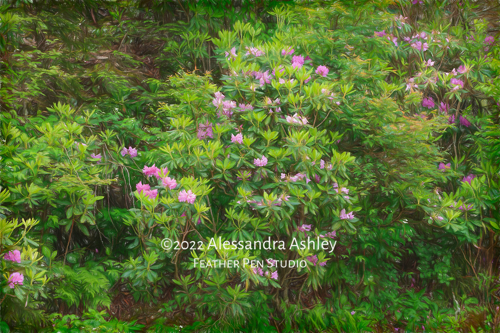 Catawba rhododendron growing in the wild on mountainside. Colored pencil effects blended with original photograph.