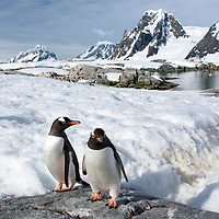 Two gentoo penguins pause on a rock in the snow on Petermann Island, Antarctica.