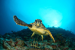 Eretmochelys imbricata, Echte Karettschildkroete, Hawksbill Sea Turtle, Malediven, Baa Atoll, Indischer Ozean, Maldives, Indian Ocean