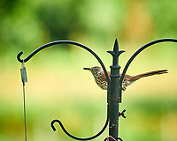 Brown Thrasher. Image taken with a Nikon D850 camera and 200 mm f/2 VR lens