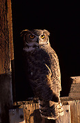 Great Horned owl Bubo virginianus, bird of prey  by window in barn, hunts mammals, most widespread of North American owl species.