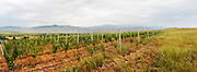 Vineyard. Amyntaion wine cooperative, Amyndeon, Macedonia, Greece
