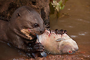 Giant Otter Eating Fish (Pteronura brasiliensis) HABITUATED. Part of Karanambu Otter Trust to be reabilitated.<br />