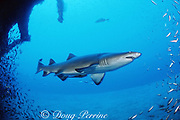 sand tiger shark, Carcharias taurus (formerly Odontaspis/ Eugomophodus ) wreck of the Papoose, N. Carolina, United States ( Western Atlantic Ocean )