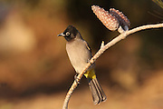 Yellow-vented bulbul (Pycnonotus xanthopygos) perching on a pine branch. This songbird is also known as the white-spectacled bulbul. Photographed in Israel.