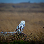 Snow Owl waiting out a storm.