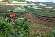 Red Canna (also Canna Lily) on the edge of agricultural fields of various crops. Photographed near Kumming, Yunnan province in southwest China in September