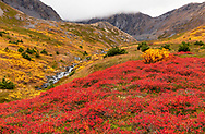 Autumn reds of Blueberry and yellows of Mountain Ash and Willow dominate the alpine of Palmer Creek Valley in Southcentral Alaska. Afternoon.