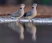 Ring-necked doves (Streptopelia capicola) from Zimanga, South Africa.
