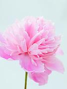 Paeonia lactiflora 'Pink Cameo' - peony