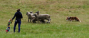 Moving the sheep in a tight formation and moving them to a place they don't want to go is key, and border collies do it best. (Alan Berner/The Seattle Times)