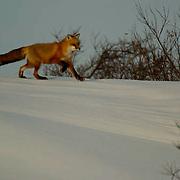 Red Fox (Vulpus fulva) near Churchill, Manitoba, Canada, Winter