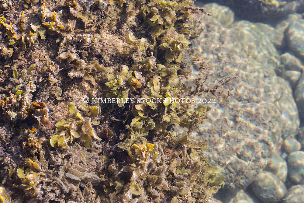Various different species of seaweeds and marine algae in a shallow rockpool off Macleay Island on the Kimberley coast.