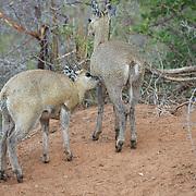 Klipspringer. Mala Mala Game Reserve. South Africa.