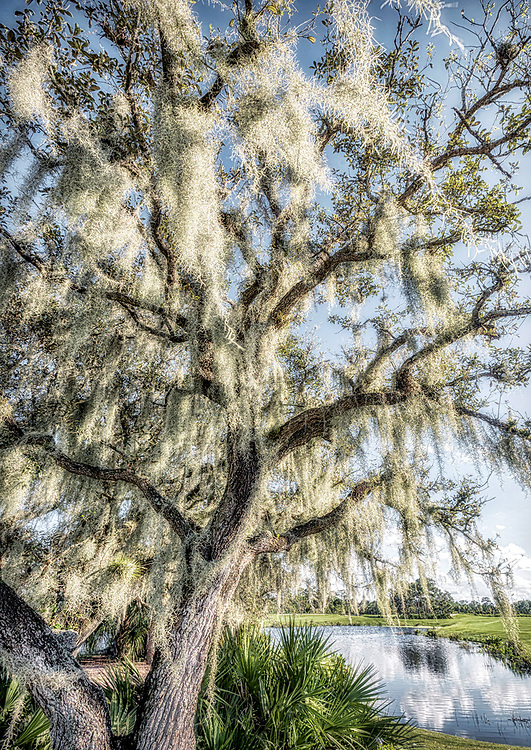 Florida Spanish Moss<br /> <br /> Washington DC Photography / Washington DC Photographs / Washington DC Images Art for Corporate Decor / Hospitality Decor / Health Care Decor / Interior Design Projects requiring Art of Washington DC<br /> <br /> Exceptional Quality Fine Art Photographic Prints / High-Res Images for Interior Decor Projects<br /> Framed Photographs / Prints / Wall Murals / Images Printed to Metal / Canvas / Acrylic / Wood<br /> <br /> Please click the dcstockphotos.com link at the top of this page to view my more complete and comprehensive collection with thousands of Washington DC Images including Image Galleries of other Regions and Specialties