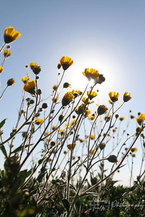 Wild flowers silhouette the sun in the desert on the eastern side of the sea.
