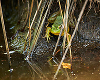 Kermit the Bullfrog. Image taken with a Nikon D850 camera and 200-500 mm f/5.6 VR lens