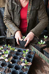 Pricking out Cerinthe seedlings from module tray into individual pots. Cerinthe major 'Purpurascens'