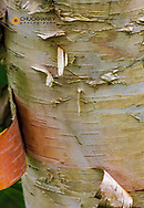 Paper birch tree in Acadia National Park, Maine, USA