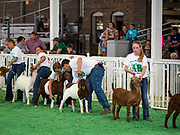 14 AUGUST 2019 - DES MOINES, IOWA: A FFA goat show at the Iowa State Fair. The Iowa State Fair is one of the largest state fairs in the U.S. More than one million people usually visit the fair during its ten day run. The 2019 fair run from August 8 to 18.                PHOTO BY JACK KURTZ