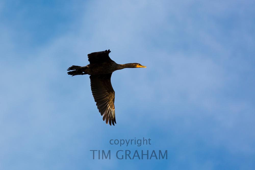 Black Double-crested Cormorant, Phalacrocorax auritus,  wide wingspan soaring in flight,  Captiva Island, Florida USA
