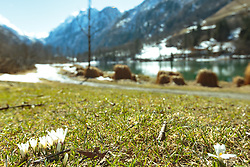 THEMENBILD - weiße Krokusse vor dem Klammsee, aufgenommen am 25. März 2018, Kaprun, Österreich // white crocuses in front of the Klammsee on 2018/03/25, Kaprun, Austria. EXPA Pictures © 2018, PhotoCredit: EXPA/ Stefanie Oberhauser