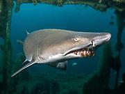Sand Tiger shark inside the Aeolus shipwreck in North Carolina, USA
