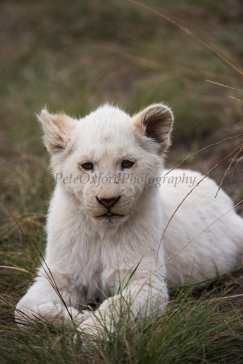White lion (Panthera leo)<br /> Inkwenkwezi Private Game Reserve<br /> Eastern Cape<br /> SOUTH AFRICA<br /> Captive bred white (leucistic) lions<br /> CAPTIVE