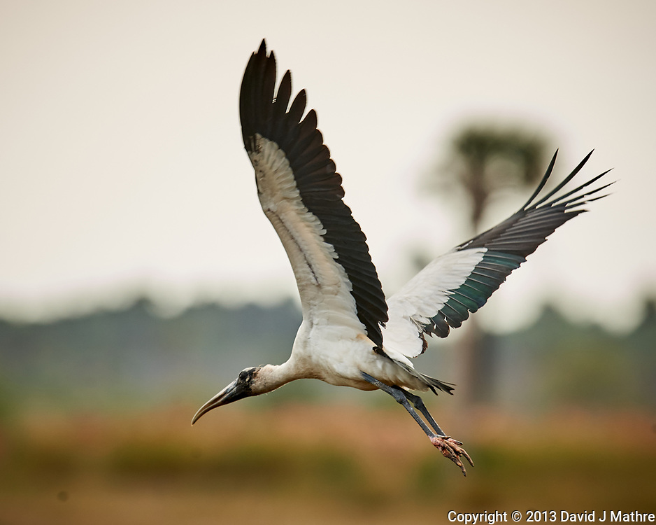 Wood Stork in flight. Biolab Road in Merritt Island National Wildlife Refuge. Image taken with a Nikon D3x camera and 600mm f/4 VR lens (ISO 100, 600 mm, f/5.6, 1/1000 sec).