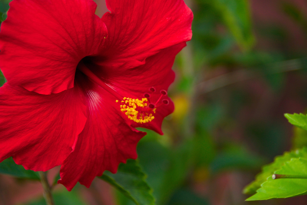 Close up flower photography of a red hibiscus. Photo by Adel B. Korkor.