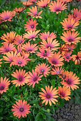 Osteospermum 'Serenity Bronze' - - African daisy