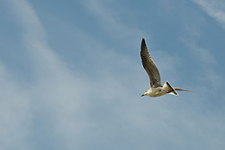 Gull above the Greeley Cottage, Potts Point, South Harpswell, ME
