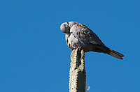 A Eurasian Collared Dove, Streptopelia decaocto, perches on a cactus in the Desert Botanical Garden, Phoenix, Arizona