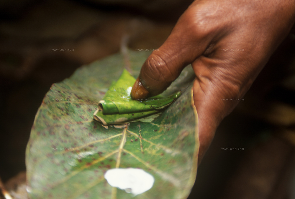 The paan is closely connected to the Banarasi way of life. Paan symbolises the Banarasi's addiction to the good things of life like none of the rest do. And this addiction, an outsider will say, is virtually over nothing. There's a betel leaf, supari (arecanut), katha (catechu), chuna (lime), gulkand (rose jam), honey-flavoured elaichi (cardamom), and for those who want it ? tobacco. Eating a paan, folding it with spices and condiments and sharing it with a friend, is a gesture of hospitality. Visiting the roadside paanwalla to buy a paan and eating it leisurely, is a way of life. It is a habit that has been cultivated all over India. But in Banaras, paan is a habit with a deep social significance.