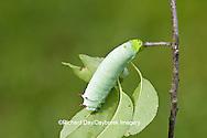 04012-00102 Promethea Moth (Callosamia promethea) caterpillar on host plant, Wild Cherry, Marion Co., IL