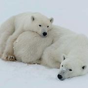 00473 Polar Bear (Ursus maritimus) Mother with cub resting. Churchill, Manitoba. Canada. Winter.