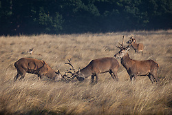 © Licensed to London News Pictures. 01/10/2016. London, UK. Two Red Deer stags rutting at sunrise in Richmond Park. The deer are at the beginning of their breeding season. Photo credit: Rob Pinney/LNP